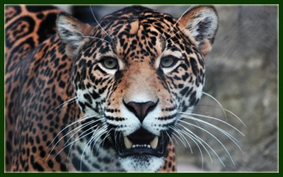 elmwood-zoo-jaguar_inka
